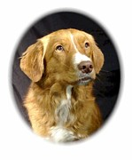 Retriever Digital Art - Nova Scotia Duck Tolling Retriever 1065 by Larry Matthews
