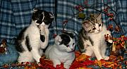 Scottish Folds Pyrography Metal Prints - November 2004 Metal Print by Robert Morin