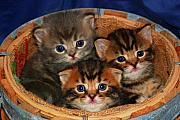 Kitten Pyrography Acrylic Prints - November 2006 Acrylic Print by Robert Morin