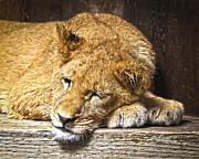 Lion Cub Sleeping Posters - Now I Lay Me Down To Sleep Poster by Steve McKinzie