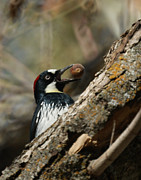 Woodpeckers Framed Prints - Now where do I put this one Framed Print by Ernie Echols