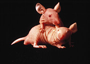 Thymus Cell Posters - Nude Mice Used In Animal Experiments Poster by National Cancer Institute