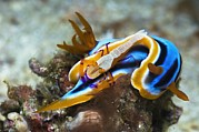 Marine Mollusc Posters - Nudibranch And Emperor Shrimp Poster by Georgette Douwma