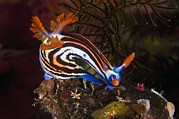 Marine Mollusc Metal Prints - Nudibranch Metal Print by Matthew Oldfield