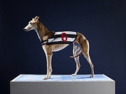 Racing Number Framed Prints - Number 6 Greyhound, Profile Framed Print by Michael Blann