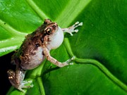 Tiny Tree Frog Prints - Nursery frog Print by Johan Larson