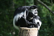 Carol Wright - Nursing baby Colobus...