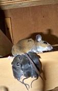 Nursing Baby Mice Print by Danielle Mell