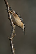 Larvae Framed Prints - Nuthatch Framed Print by Andy Astbury