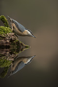 Andy Astbury Posters - Nuthatch Reflection Poster by Andy Astbury