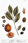 Seed Posters - Nutmeg, 1735 Poster by Granger