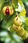 Ripe Photos - Nutmeg Fruits by David Nunuk