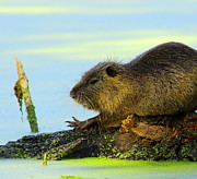 Swamp Prints - Nutria Print by Robert Frederick