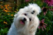 White Maltese Photos - Nuttin But Love by Lois Bryan