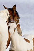 Wild Horse Prints - Nuzzle Print by Carol Walker