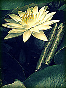 White Waterlily Framed Prints - Nymphaea Framed Print by Jessica Brawley