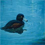 Waterfowl Paintings - NZ Scaup by Peter Jean Caley