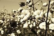 Black And White Photos - O Sweet Cotton by Sean Cupp