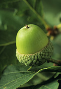 Quercus Framed Prints - Oak Acorn (quercus Sp.) Framed Print by David Aubrey
