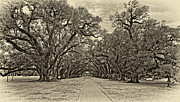 Pillars Digital Art Posters - Oak Alley 3 antique sepia Poster by Steve Harrington