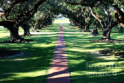 Tree-lined Posters - Oak Alley Lane Poster by Carol Groenen