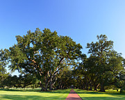 Oak Alley Plantation Photo Prints - Oak Alley Plantation Panoramic Print by Maggy Marsh
