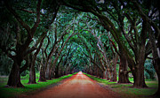 Live Oak Tree Prints - Oak Alley Road Print by Perry Webster