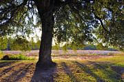 Country Scenes Prints - Oak And Cotton Fields Print by Jan Amiss Photography