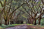 Oak Photos - Oak Canopy Road  by Drew Castelhano