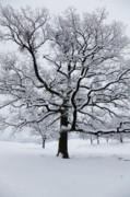 Wintry Photo Prints - Oak Print by Gabriela Insuratelu