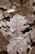 Monochrome Art - Oak Leaf by Frank Tschakert