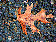 Asphalt Photos - Oak Leaf In Fall by Carolyn Marshall