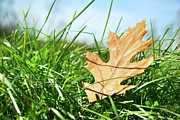 Autumn Leaf Posters - Oak leaf in the grass Poster by Sandra Cunningham