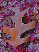 Autumn Photography Photos - Oak Leaf by Juergen Roth