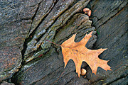 Peter J Sucy Metal Prints - Oak Leaf on the Rocks Metal Print by Peter J Sucy