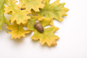 Fallen Leaf Photos - Oak Leaves and Acorns by Utah Images