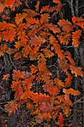 Randall Templeton Art - Oak leaves at schram Park. by Randall Templeton