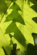 Oak Photos - Oak Leaves by Cindi Ressler