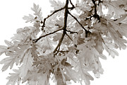 Black And White Photos - Oak Leaves by Frank Tschakert