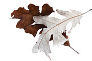 Decor Nature Photo Prints - Oak Leaves Montage No. 4 Print by The Forests Edge Photography - Diane Sandoval
