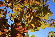 Lyle Hatch Acrylic Prints - Oak Leaves with Backlighting Acrylic Print by Lyle Hatch
