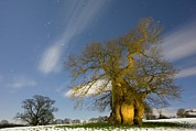 Snowy Night Photos - Oak (quercus Robur) by Bob Gibbons