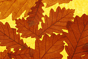 Quercus Prints - Oak (quercus Sp.) Leaves Print by David Aubrey