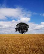 Lone Tree Framed Prints - Oak Tree At Midday In Barley Field Framed Print by The Irish Image Collection