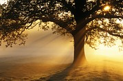Quercus Prints - Oak Tree At Sunrise Print by Jeremy Walker