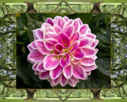 Flower Photos Framed Prints - Oak Tree Dahlia Framed Print by Bell And Todd