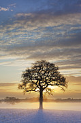 Backlit Posters - Oak Tree December Sunrise Askham Bryan York 2009 Poster by John Potter