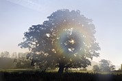 Quercus Prints - Oak Tree In Mist Print by Dr Keith Wheeler
