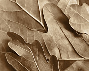Brown Leaves Prints - Oak Tree Leaves in Sepia Print by Jennie Marie Schell