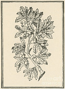 1579 Framed Prints - Oak Tree, Mattiolis Discorsi, 1544 Framed Print by Science Source
